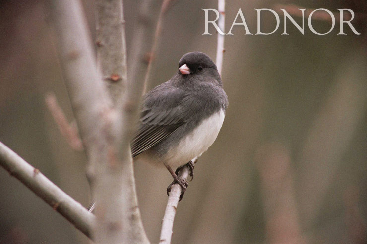 Junco Courtesy of John Hoepfner