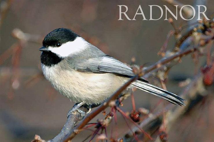 Chickadee Courtesy of Howard B. Eskin