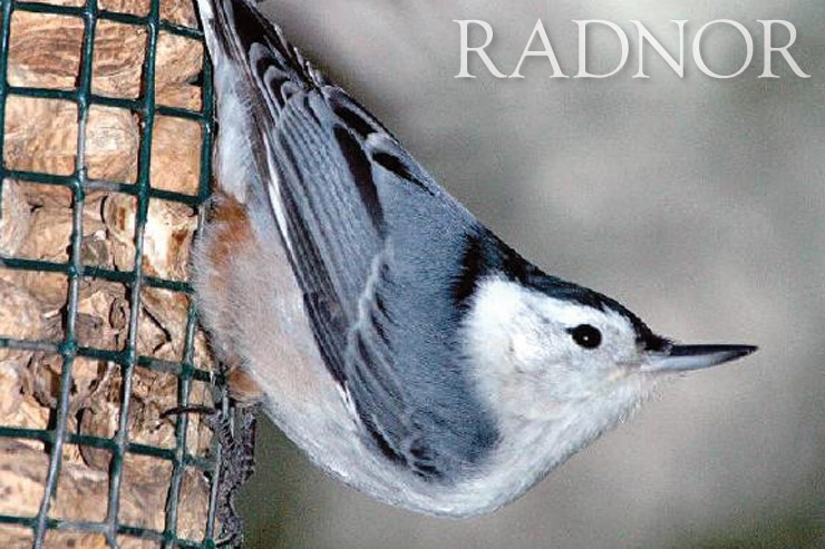 Nuthatch Courtesy of Howard B. Eskin