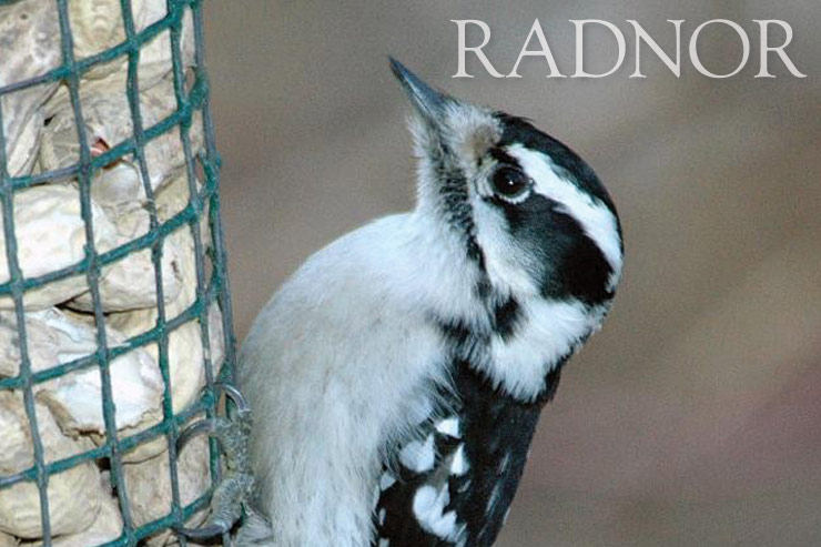 Downy Woodpecker Courtesy of Howard B. Eskin