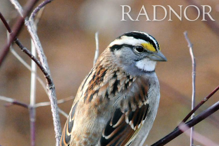 White Throated Sparrow Courtesy of Howard B. Eskin