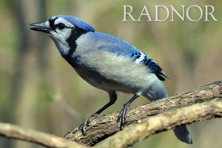 Blue Jay Courtesy of Howard B. Eskin