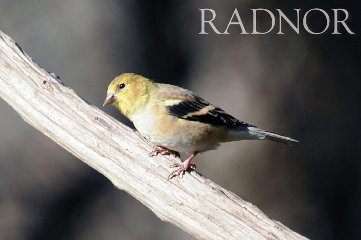 Goldfinch Courtesy of Howard B. Eskin