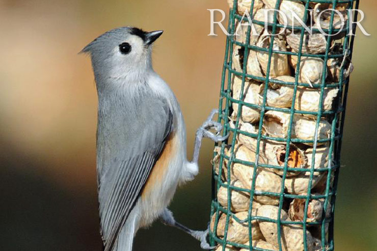 Tufted Titmouse Courtesy of Howard B. Eskin